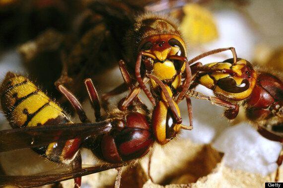 Giant Deadly Hornets Kill Dozens And Injure Hundreds In
