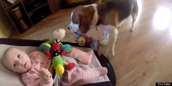 Guilty Beagle Showers Baby With Gifts After Stealing Her