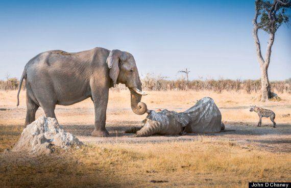 Elephant Clings To Tusk Of Dead Friend In Botswana