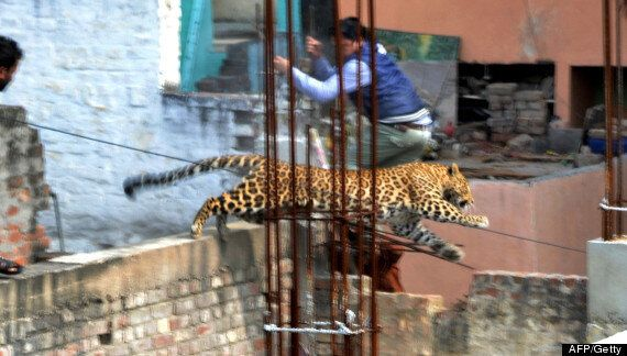 Leopard Injures Seven After Escaping In Indian Town Of Meerut