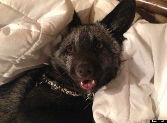 Vader The Fox: Devastated Family Launch Appeal After Beloved Pet Is Euthanised Following 'False Bite