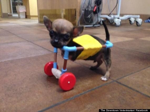 #GoTurbo! Chihuahua Puppy With No Front Legs Gets Toy Helicopter Wheels