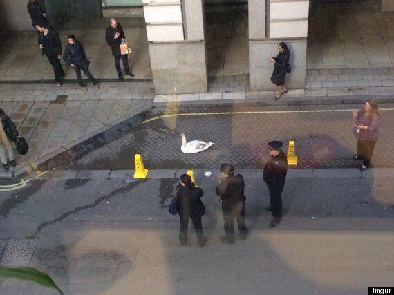 Swan Makes Bizarre Appearance In The West End, Confuses Passersby