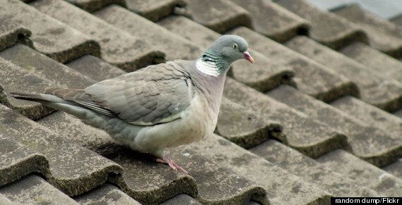 Pigeon Starts Fire In London Home After Dropping Burning Cigarette