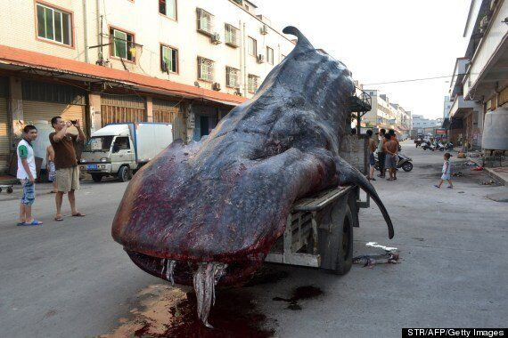 Insane/Deeply Sad Pictures Of Giant Whale Shark Transported In Truck By Chinese