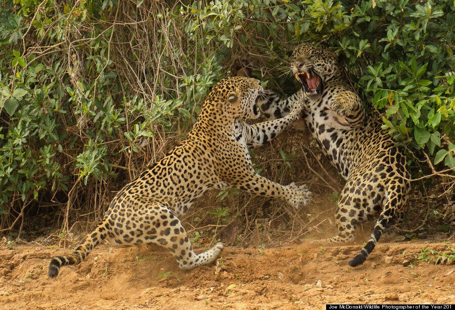 Winners of Wildlife Photographer of the Year 2013: Majestic Elephants And Leaping Leopards