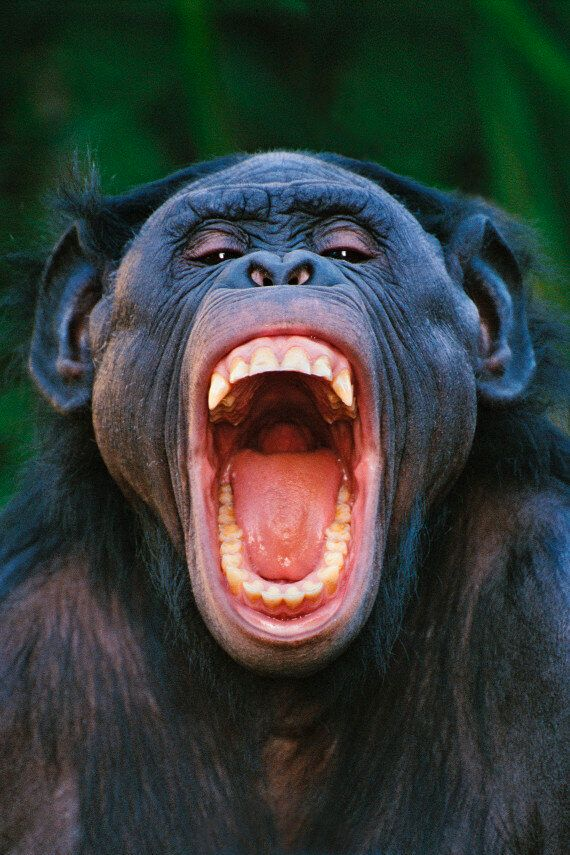 Chimpanzee Alarm Calls Are Warnings Not Cries Of Fear Say