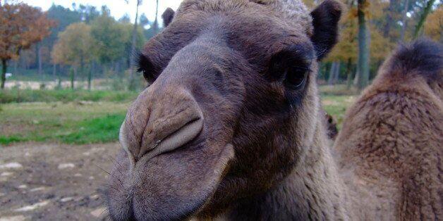 Grumpy camel