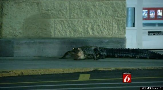 Alligator Strolls Up To Florida Walmart, Freaks Everyone Out