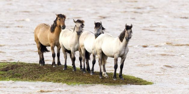 Horses Trapped On Tiny Island In Surreal Photos From Flooded Scottish