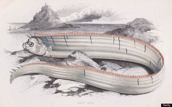 Conspiracy Theorists Link Oarfish Deaths With Impending