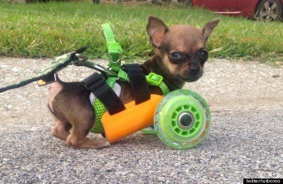 TurboRoo, The Two-Legged Cyborg Chihuahua, Receives 3D Printed