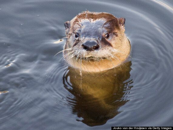 Otter 'Terrorises' Fast Food Restaurant Customers In Norway: Wounded Animal Bites Wildlife