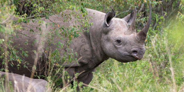 Texas Hunters Auction Permit To Kill Endangered Black Rhino