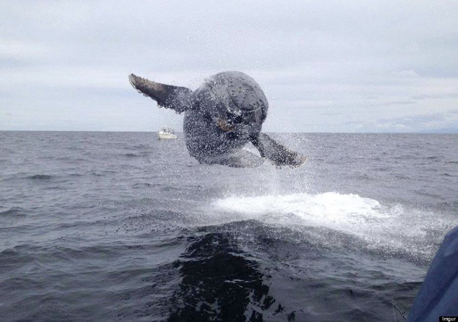 Whale 'Flies' Towards Boat In Incredible Picture Snapped In