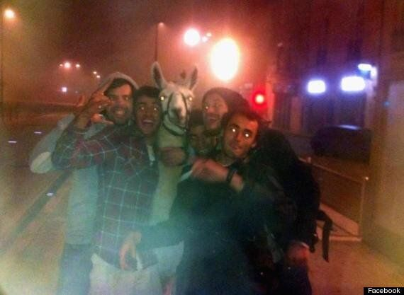 Llama Named Serge 'Stolen' By Drunk French Teenagers Who Took Him On The Train (PICTURES,