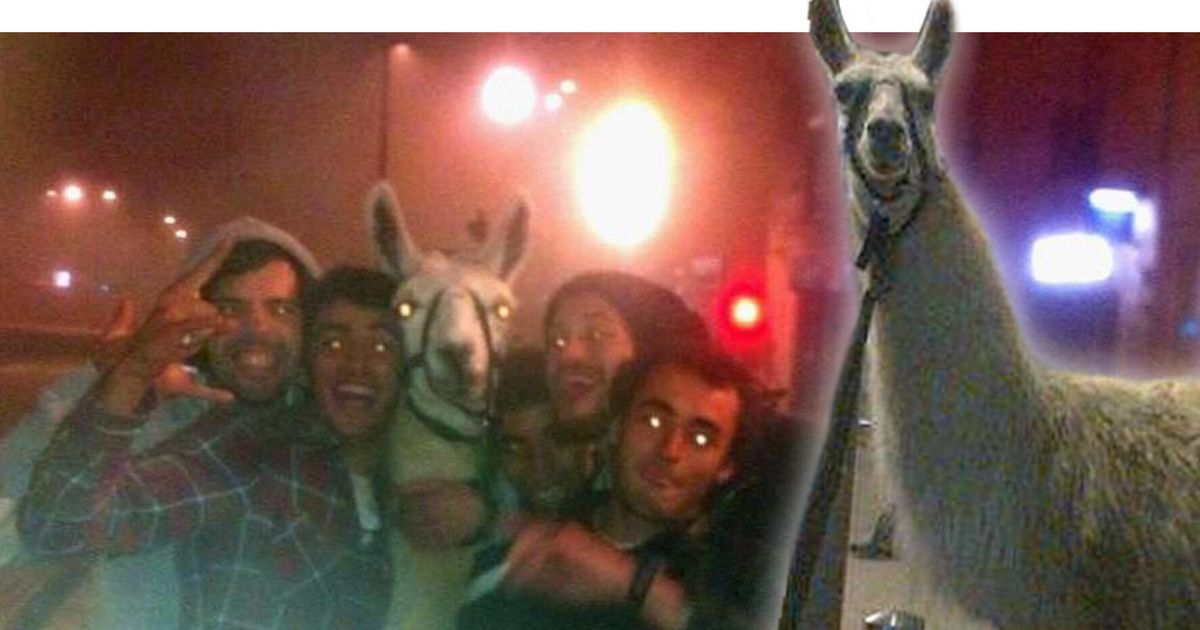 Llama Named Serge Stolen By Drunk French Teenagers Who Took Him On