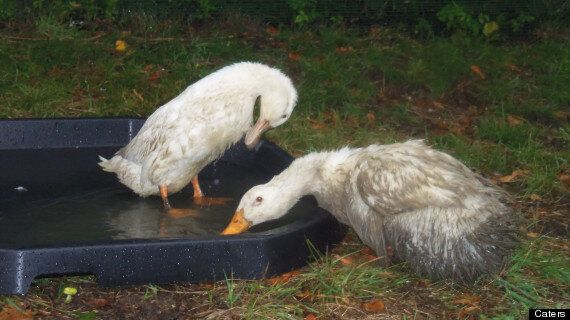 Ducks Decapitated In Stoke-On-Trent Primary School Grounds