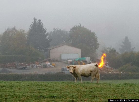 Farting Cow Appears To Blow Flames Out Of Its Arse