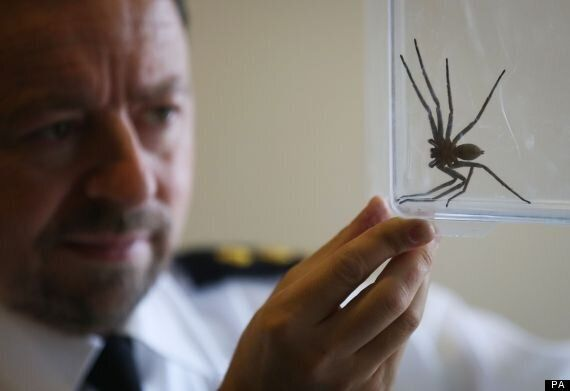 Huntsman Spider Crawls Out Of Warehouse Container In East