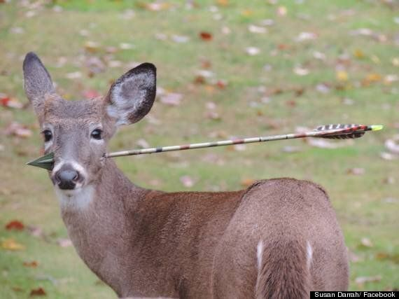 Deer With Arrow In Head Saved By Wildlife Officials (PICTURES)