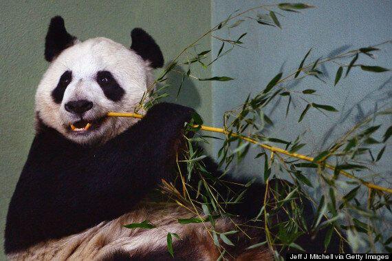 Edinburgh Panda Tian Tian Past Due Date, And Experts Fear 'Bad News'