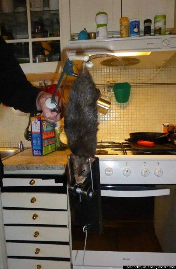 Monster Rat On The Rampage In Sweden Terrrorises