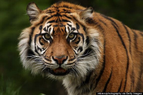 Tigers Slaughtered & Eaten For 'Entertainment' Of Wealthy Chinese