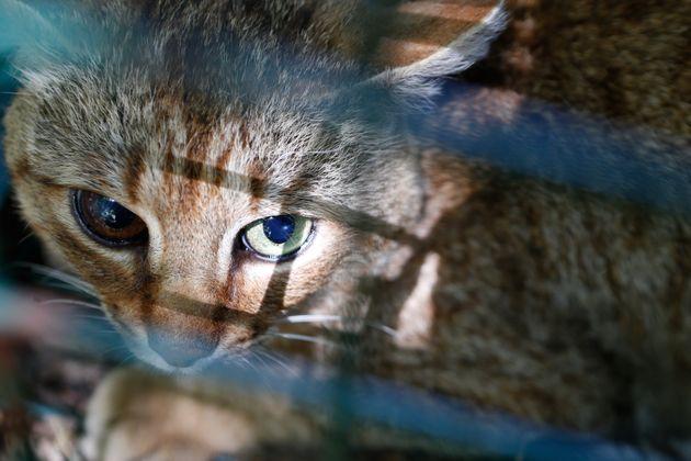 Le chat-renard, étudié par des agents de l'Office national de la chasse et de la faune...