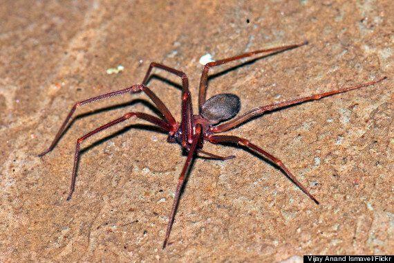 Mediterranean Recluse Spider Bite 'Eats' Hole In Dutch Woman's Ear (GRAPHIC