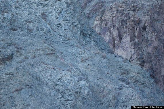 Snow Leopards Are Perfectly Camouflaged Against The Indian Himalayas