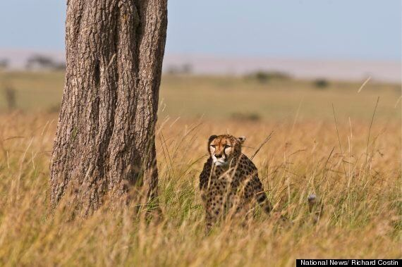 Cheetah Is A Master Of Disguise As He Stalks Hapless Gazelles