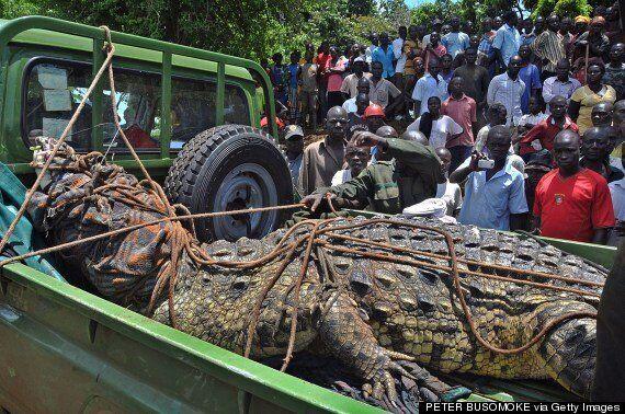 Monster 1 Tonne Crocodile Which Killed Four Men Caught In Uganda