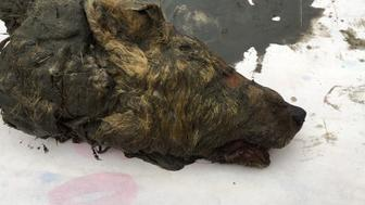 A wolf head believed to be 30,000 years old has been discovered preserved in permafrost in eastern Siberia.