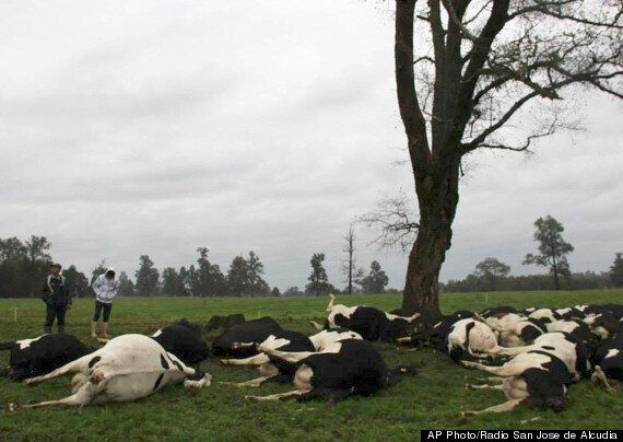 Lightning Strikes Kill More Than 60 Cows In Chile (VIDEO, GRAPHIC