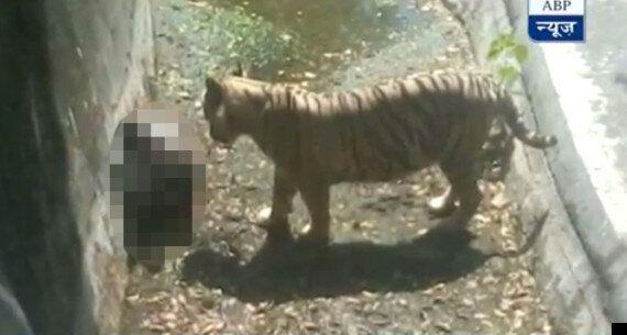 White Tiger Kills Young Man At Delhi