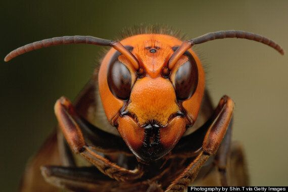 Deadly Asian Hornets Have Killed 6 In France & Could Be On Their Way To