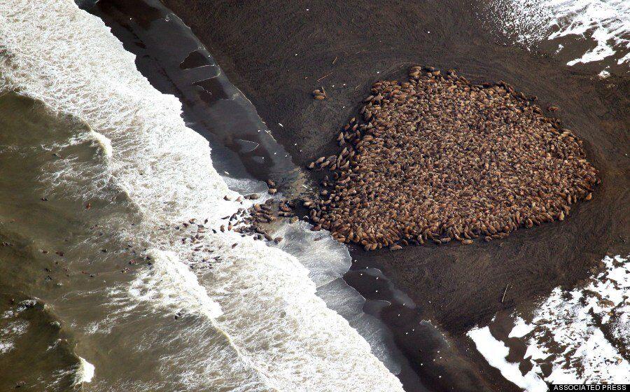35,000 Walrus Cluster On Alaskan Beach As Global Warming Melts Sea