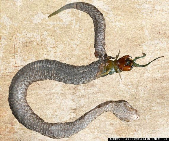 Centipede Eats Its Way Out Of A Viper's Stomach