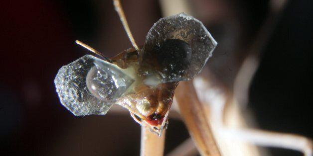 3D Glasses For Praying Mantis Are World's