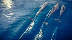Les dauphins seraient capables de lier des amitiés par