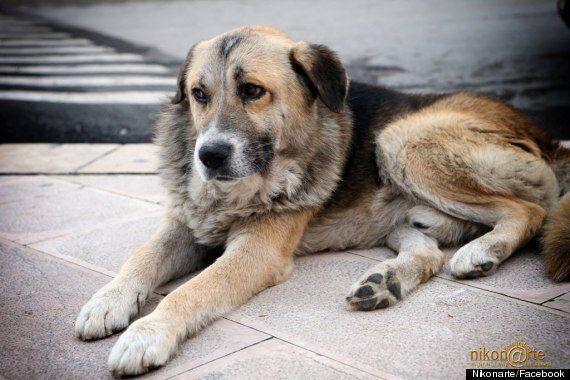 German Shepherd Ciccio Attends Italian Church Of Santa Maria Assunta Mass Daily As He Mourns Late Owner...
