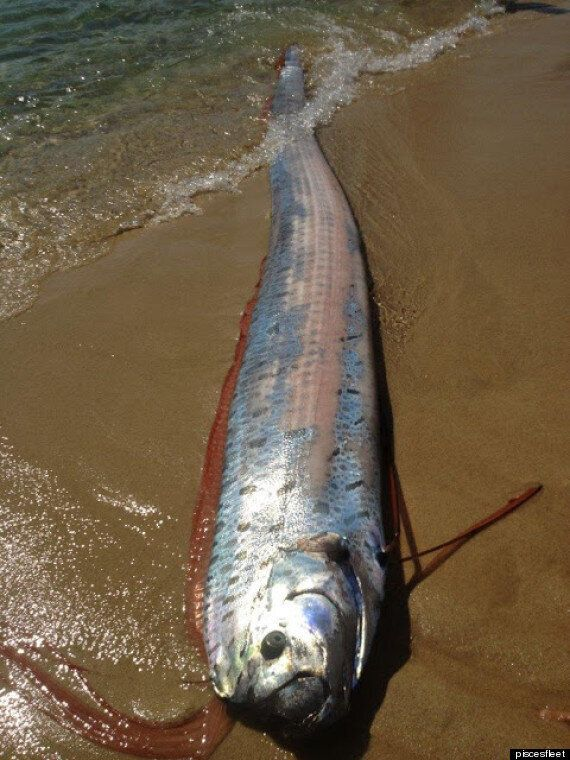 Sea Monster Washes Up On Mexican Beach (OK It's An Oarfish)