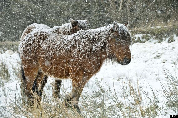 UK Weather: Dartmoor Ponies Hit And Killed By Cars After Licking Anti-Ice Salt On