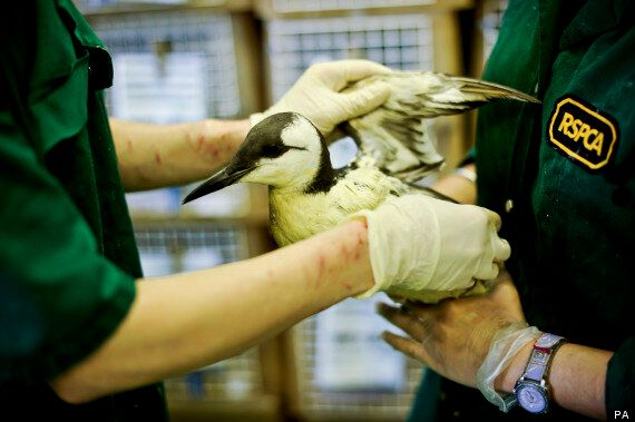 Scientists Identify Toxic Mystery Substance Killing Seabirds On South Coast of