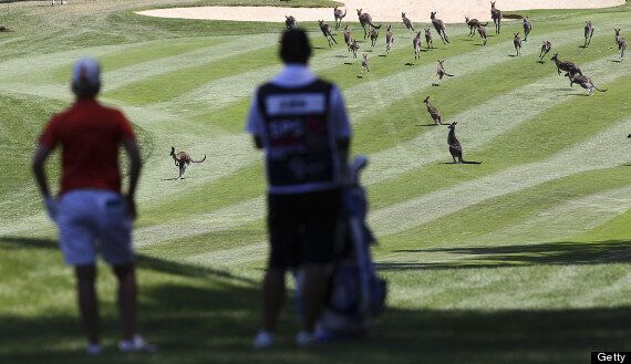 Australian Open Interrupted By Kangaroos At Royal Canberra Golf Club