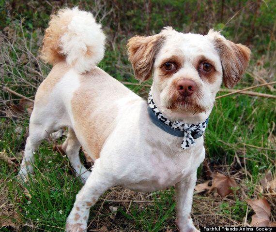 Peekapoo Dog Chuchi Looks Just Like Boardwalk Empire Star Steve Buscemi