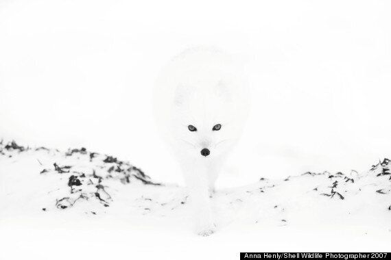 Anna Henly's Arctic Fox And More Gems From The Veolia Environment Photographer Of The Year