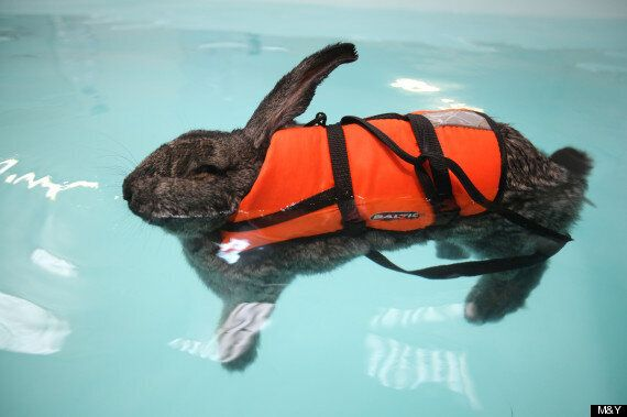 Rabbit Named Heidi Eases Arthritis With Hydrotherapy (PICTURES,