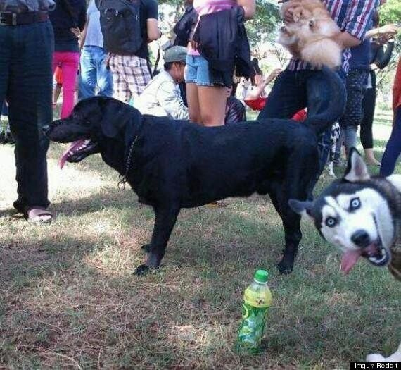 Photobombing Husky Livens Up An Otherwise Drab Dog